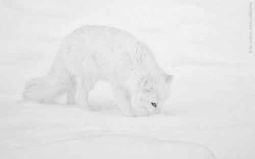 FIAP Gold Arctic Fox Hunting Michael Windle