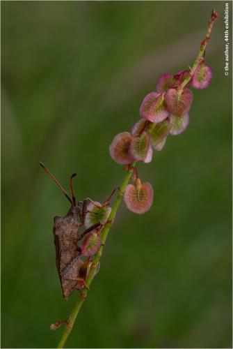 MCPF Ribbon-Shieldbug Feeding on Sorrel-Mike Pockney ADPS-England