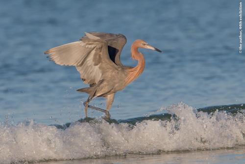 PAGB Ribbon-Reddish Egret-Brian Sugden-England