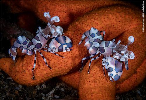 PAGB Silver -Harlequin Shrimps, Molluca Sea-David Keep LRPS BPE4 CPAGB-England