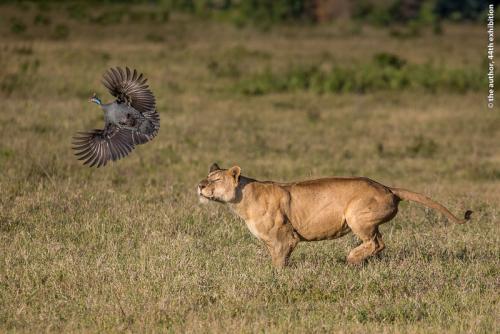 PSA Ribbon-Lion Flushes Guinea Fowl-Leah Gray-Canada