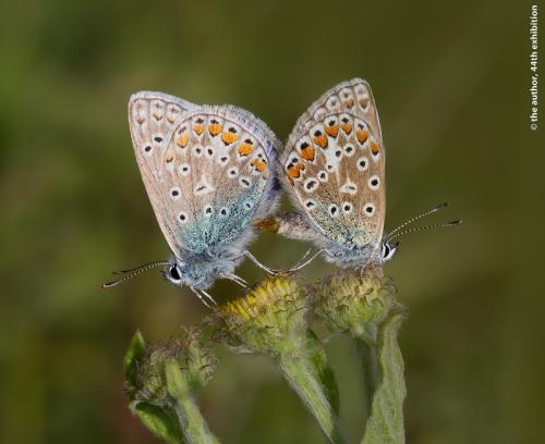 RPS Ribbon-Common Blue Butterflies Mating-Stephen Lee CPAGB AFIAP-England