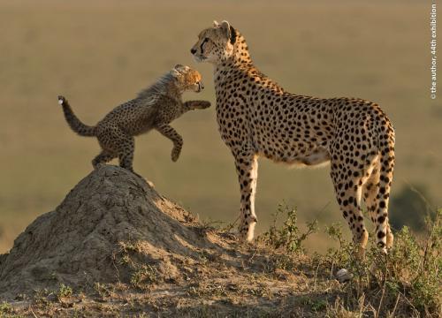 UPI Gold-Cheetah and Playful Cub-Ian Whiston DPAGB EFIAPb ABPE-England