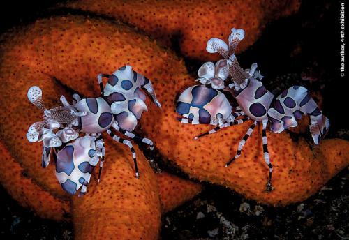 PR PNAT Keep David Rolls-Royce (Derby) PS Harlequin Shrimps Lembeh Strait 169 1