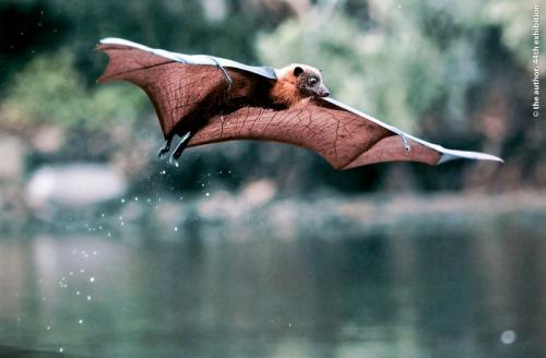 SPS Ribbon Bat 4