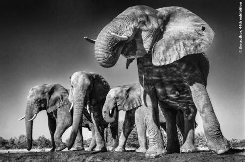 SPS Ribbon Elephants at WaterholeTom Richardson