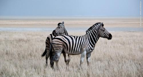 SPS Ribbon Zebras Russell Price