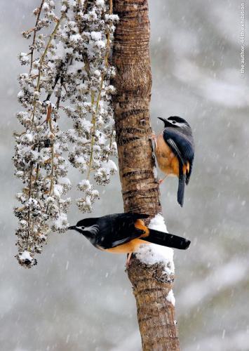 Wang Ku-San Snow bird