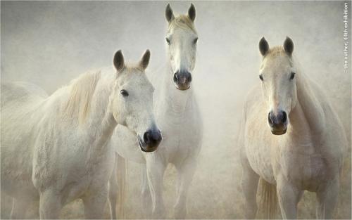 PAGB Ribbons-Three Whites-Hans Kawitzki EFIAP-Australia
